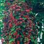 Rhodochiton Purple Bell Vine