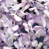 Luktärt Lilac Ripple