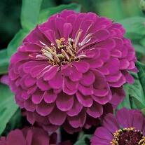 Zinnia Purple Princ