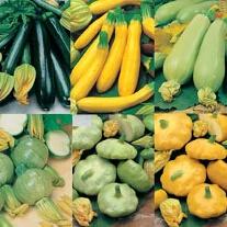Zucchini och Sommarsquash