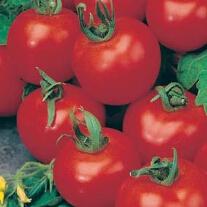 Tomat Shirley F1