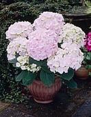 Hydrangea Hovaria ' Hopaline´