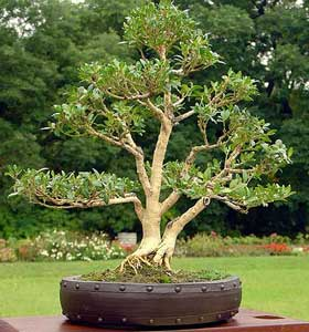 Buxus sempervirens/ Buxbom ( Bonsai)