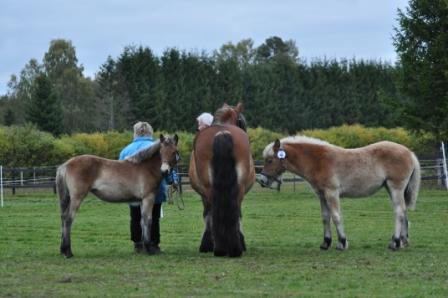 Lizanne, Lavina och Lavette väntar. Lennart  Bengtsson ägare och uppfödare till dessa fina hästar. Dottern Malin är medhjälpare.