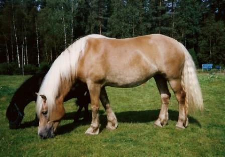 Olga min första egna nordsvenska brukshäst, tyvärr aldrig visad men med fantastiska rörelser och bra exteriör.