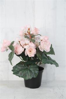 begonia-konstväxt