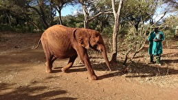 Änglavingar & Give a helping donated 2400 $ to David Sheldrick Wildlife Trust. Do not buy any ivory jewelry. Elephants are important for the entire ecosystem!