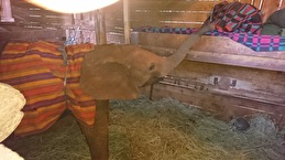 Time to say god night. The animal keeper sleeps next to the baby elephants and gives them milk during the night.