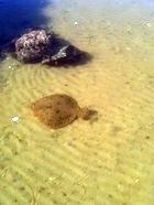 Piggvar på sandbotten