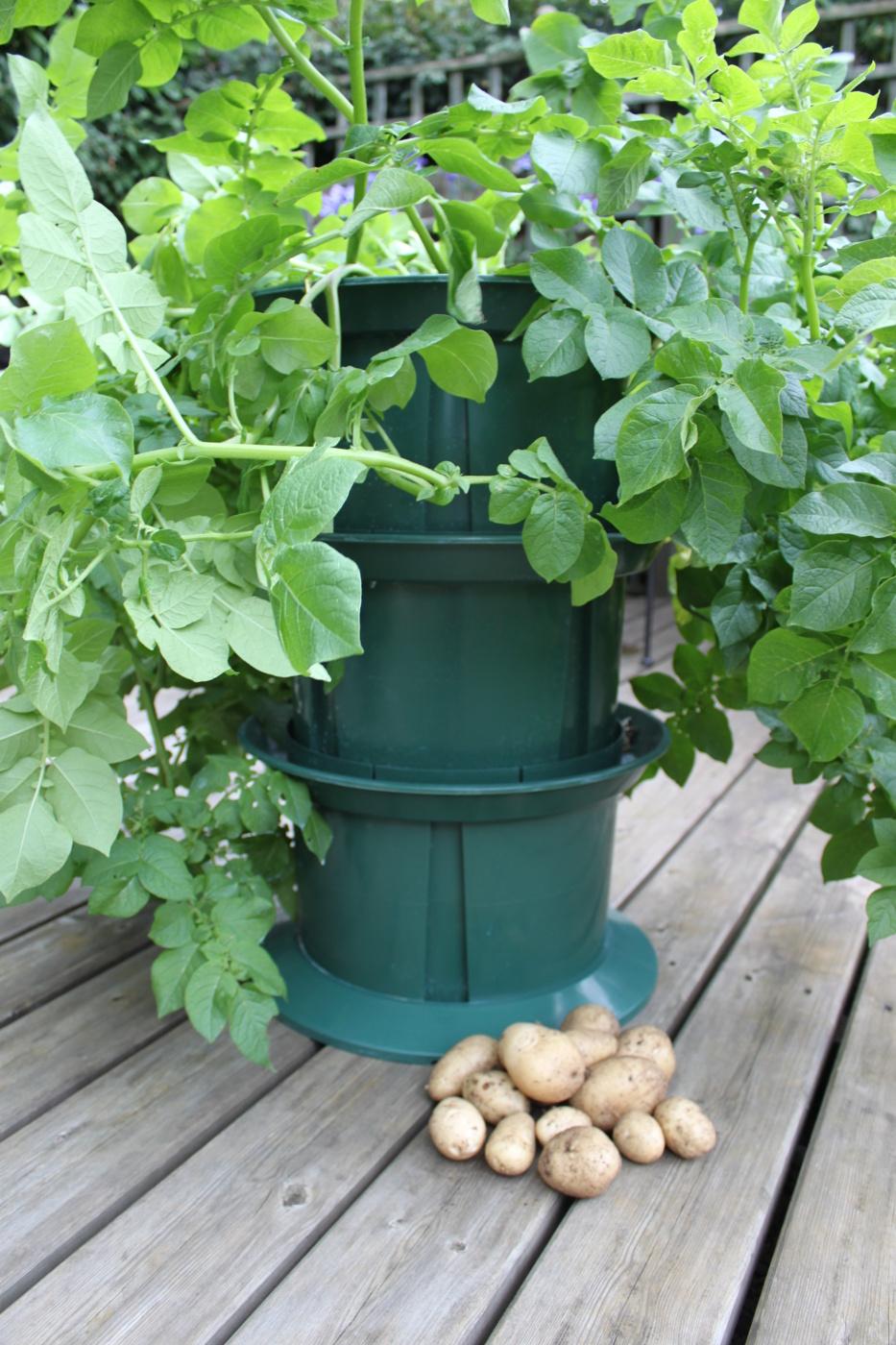odla potatis på höjden odlingssystem