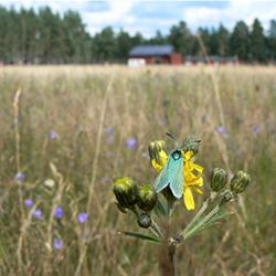 Metallvingesvärmare. © Länsstyrelsen Värmland