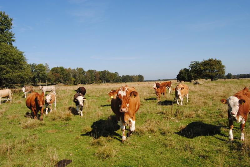 Vi tar emot beställningar på köttlådor av nötkött Charolais, Angus och Simmental för fri leverans året runt till bla Ängelholm, Älmhult & Helsingborg