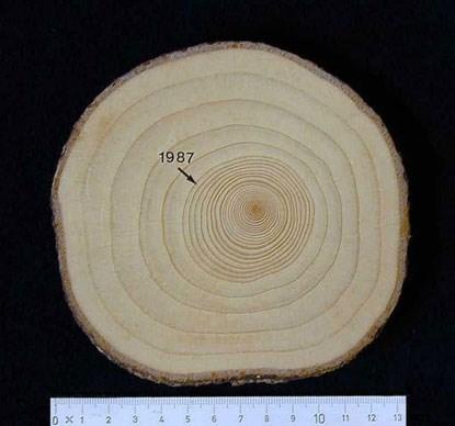 Genomskärning av en granstam där  årsringarna syns, före och efter gödslingen. Bild från SLU.