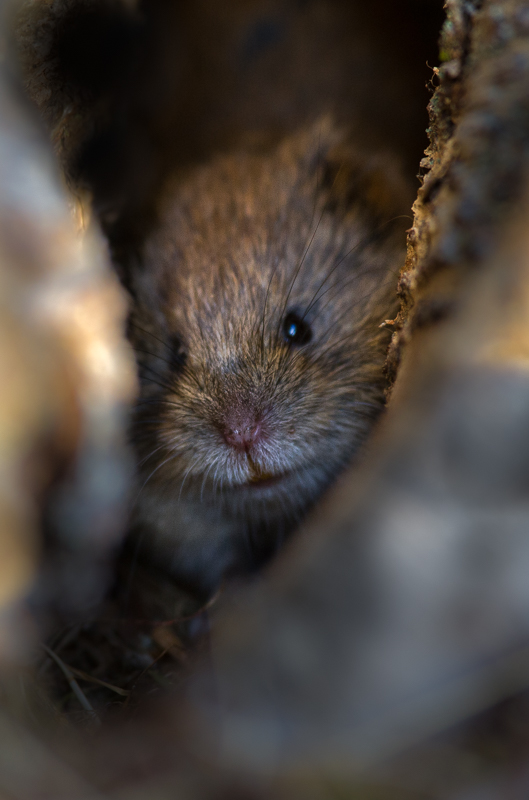 Vole photographed by Rolf Sagerstedt