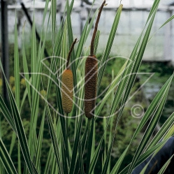 vattenväxter brokigt kaveldun, dammväxter, sumpväxter, vattenrenande, oase