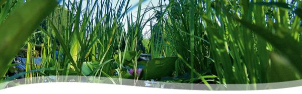vattenväxter, dammväxter, sumpväxter