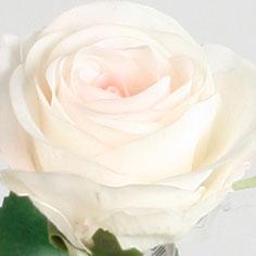 7128 rose cream pink 6 pack -