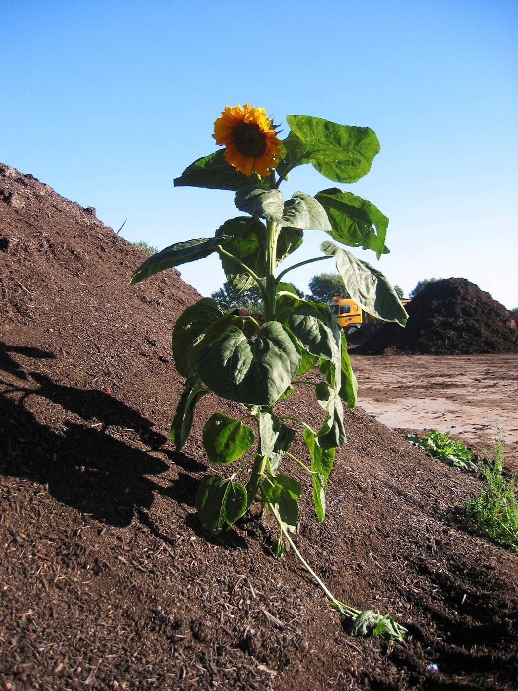 Jorden är rotogräsfir, men det händer att ett solrosfrö kommer med
