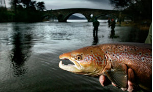 Young wild Atlantic salmon are being killed by sea lice before they breed, leading to a slump in their numbers, the Salmon and Trout Association claims. Photograph: Murdo Macleod