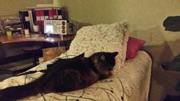 """En av mina gamla katter """"Missen"""" tycker om att ligga på Bemern när jag har sömnprogrammet på nattetid.  Hon har tidigare varit en ganska sur och vresig katt men är idag en mycket kelsjuk katt som gärna kryper upp i knä och gosar."""