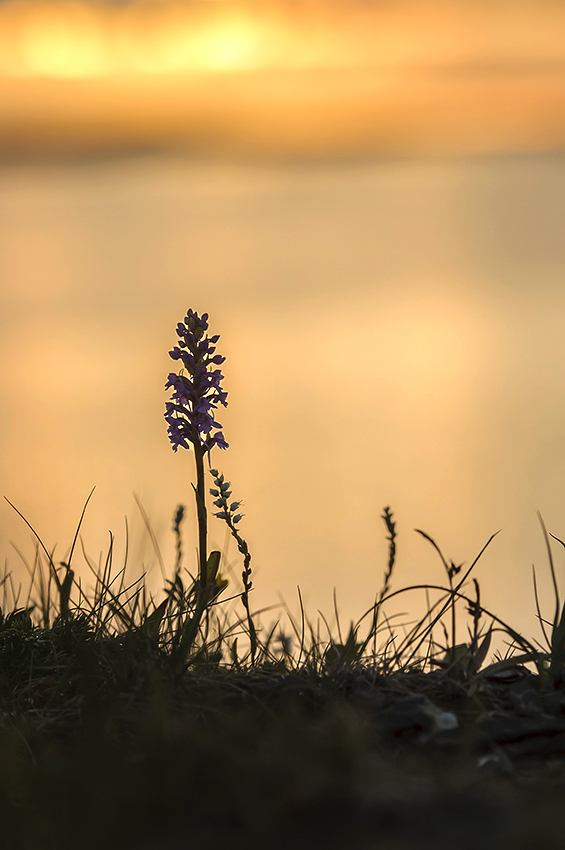 Juli (2): Brudsporre (Gymnadenia borealis) i midnattssol, Blomsöy, Norge 2012-07-20