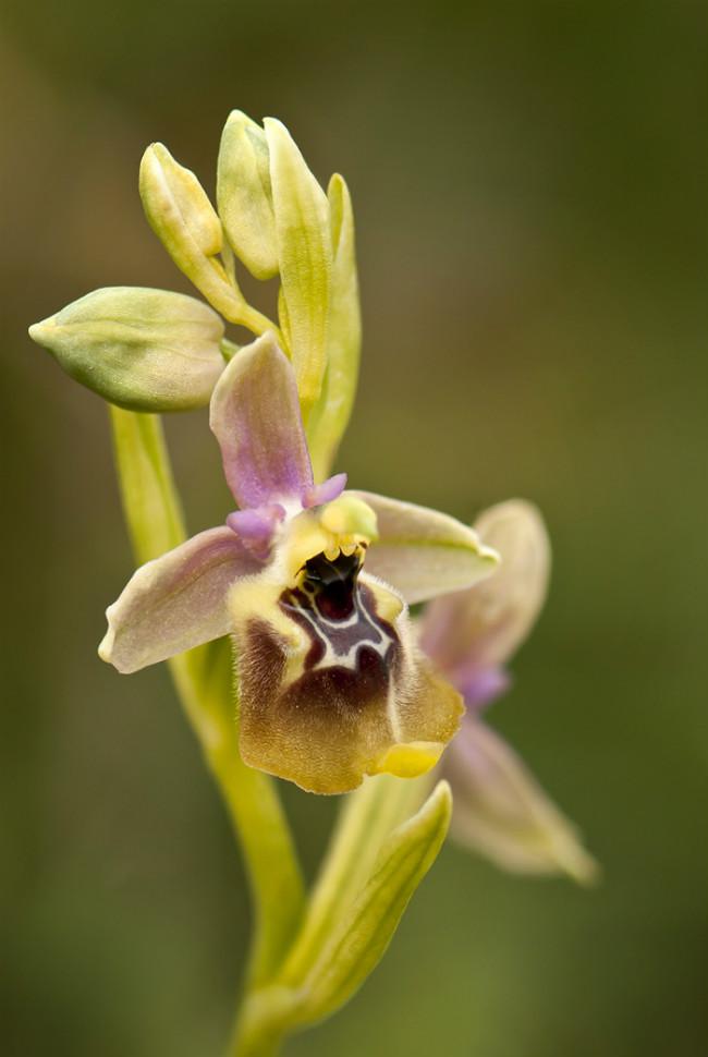 November: Ophrys x pantalicae (Ophrys calliantha x lacaitae) Sicilien 2012-04-23