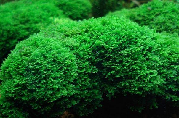 Riccardia chamedryfolia5
